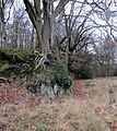 Beech trees growing out of rocks - Feb 2014 - panoramio.jpg