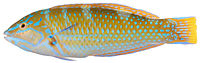 Belize Larval-Fish Group 2004 - Smithsonian Institution - Halichoeres radiatus, Terminal Phase (Puddingwife Wrasse) (pd).jpg
