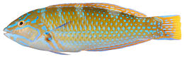Belize Larval-Fish Group 2004 - Smithsonian Institution - Halichoeres radiatus, Terminal Phase (Puddingwife Wrasse) (pd)