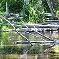 Belted kingfisher - Flickr - brewbooks (1).jpg