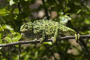 Common chameleon - Chamaeleo chameleon