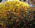 Berberis darwinii - Great Saling Essex England 3.jpg