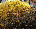 Berberis darwinii - Great Saling Essex England 3.jpg