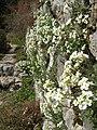 Berne botanic garden Arabis alpina.jpg