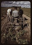 Bill Stagg turning up pinto beans 1a34112v.jpg