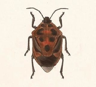 <i>Oplomus</i> genus of insects