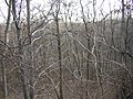 Birches in Ridgewood Reservoir winter jeh.jpg