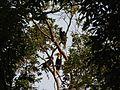 Bird Wreathed Hornbill Rhyticeros undulatus IMG 9195 (23).jpg