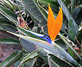 Bird of Paradise Flower (3309389102).jpg
