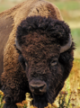 Bison head.png