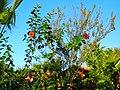 Blüte Roseneibisch Ende Oktotober östlich von Side - Sorgun - Titreyengöl - panoramio.jpg
