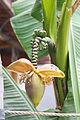 Blütenstand einer Banane (20862306674).jpg