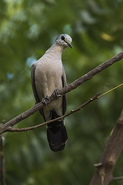 Black-billed Wood-Dove - Gambia (31836553483).jpg