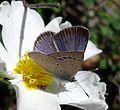 Black-eyed Blue. Glaucopsyche melanops. - Flickr - gailhampshire (3).jpg