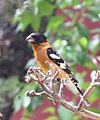 Black-headed Grosbeak (18309176450).jpg