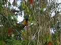 Black-hooded Oriol - Oriolus xanthornus - P1030476.jpg