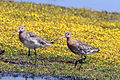 Black-tailed godwit (Limosa limosa) breeding plumage.jpg