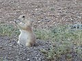 Black-tailed prairie dog in Grasslands National Park.jpg