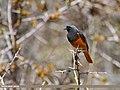 Black Redstart (Phoenicurus ochruros) (27246562035).jpg