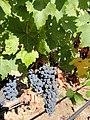Black Stallion Winery, Napa Valley, California, USA (7080592901).jpg