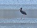 Black Stork (Ciconia nigra) (39778691282).jpg