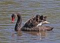 Black Swan JCB.jpg