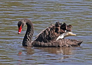 Black swan - Near Devonport, Tasmania with wings raised in an aggressive display revealing white flight feathers