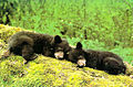 Black bear cubs (6845386982).jpg