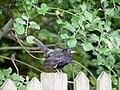 Blackbird on a fence (14426528722).jpg