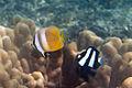 Blacklip butterflyfish Chaetodon kleinii and humbug dascyllus Dascyllus aruanus (5848894419).jpg