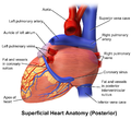 Blausen 0456 Heart Posterior.png