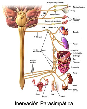 Fibras nerviosas del sistema nervioso autonomo