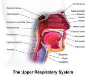 respiratory tract - wikipedia, Human Body