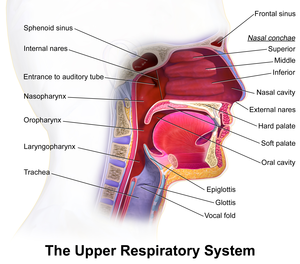 Respiratory tract - Details of upper respiratory tract.