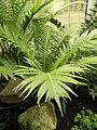 Blechnum gibbum (1).JPG