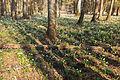 Bledule jarní v PR Králova zahrada 29.jpg