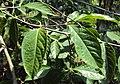 Blepharistemma serratum 01.JPG