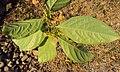 Blepharistemma serratum at Periya (23).jpg