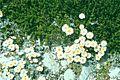 Blom2groot.jpg