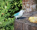 Blue-gray Tanager Thraupis episcopus - Flickr - gailhampshire.jpg