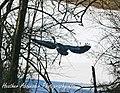 Blue Heron Eastwood, Ky (3089186703).jpg