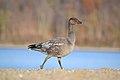 Blue Morph Snow Goose (Chen caerulescens) (15518938479).jpg