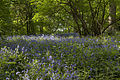 Bluebell Wood 2 (5676412753).jpg