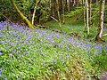 Bluebells in Kirroughtree Forest - geograph.org.uk - 431764.jpg