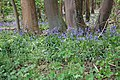 Bluebells in Turton's Covert - geograph.org.uk - 412635.jpg