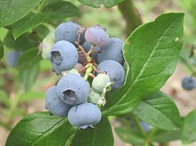 Blueberry-patriot-ripe-2012.jpg