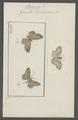 Boarmia - Print - Iconographia Zoologica - Special Collections University of Amsterdam - UBAINV0274 058 01 0067.tif