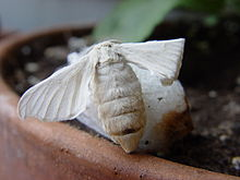 Esemplare femmina della falena sul bozzolo