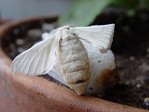 Silkesommerfugl (Bombyx mori)