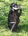 Bonobo2 CincinnatiZoo.jpg